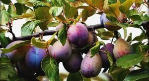 Pomi fructiferi - pruni
