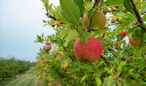Gyümölcsfák