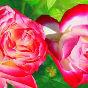 Trandafiri Teahibrizi